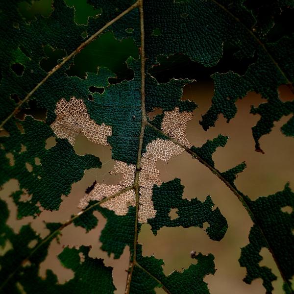 Leaf chewed