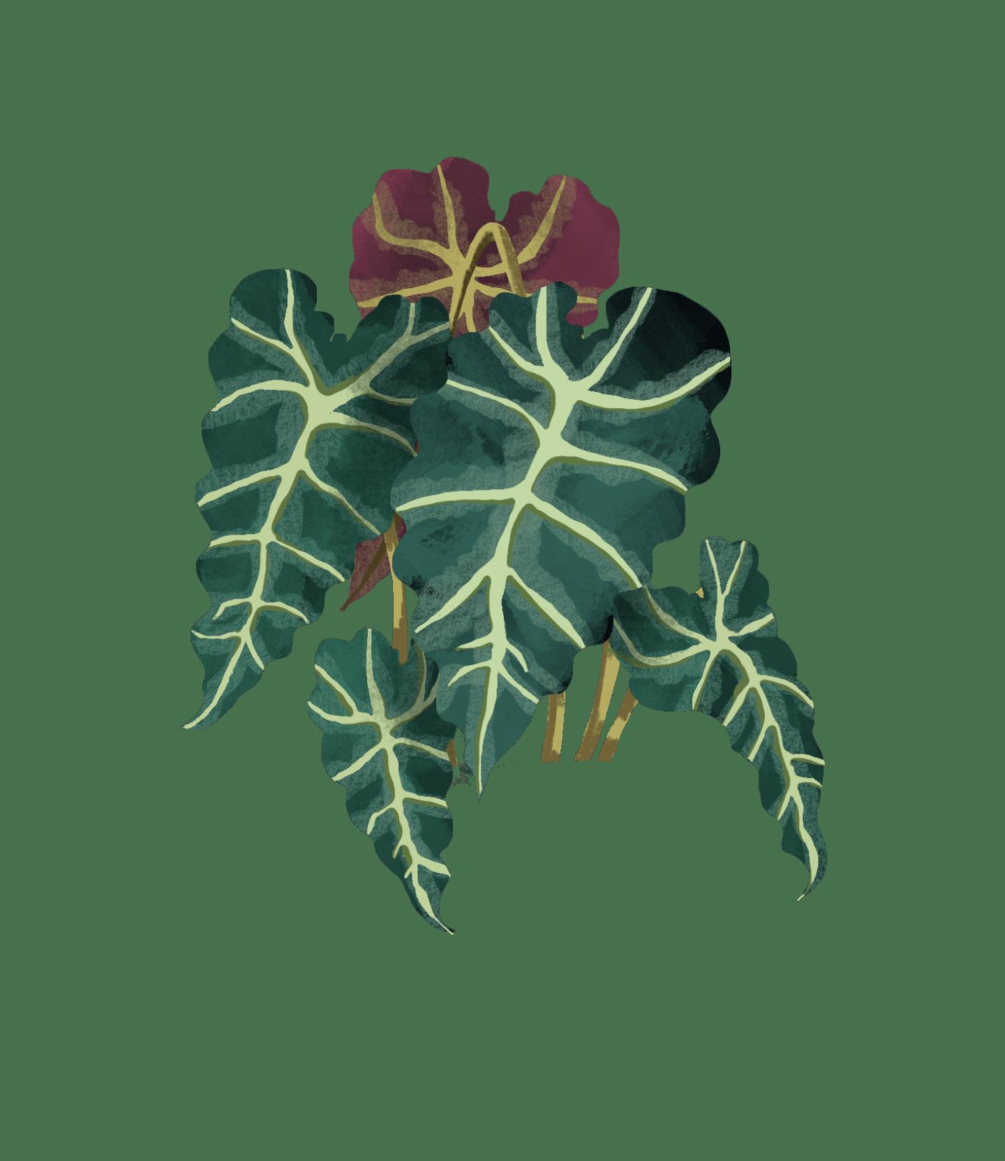 alocasia polly