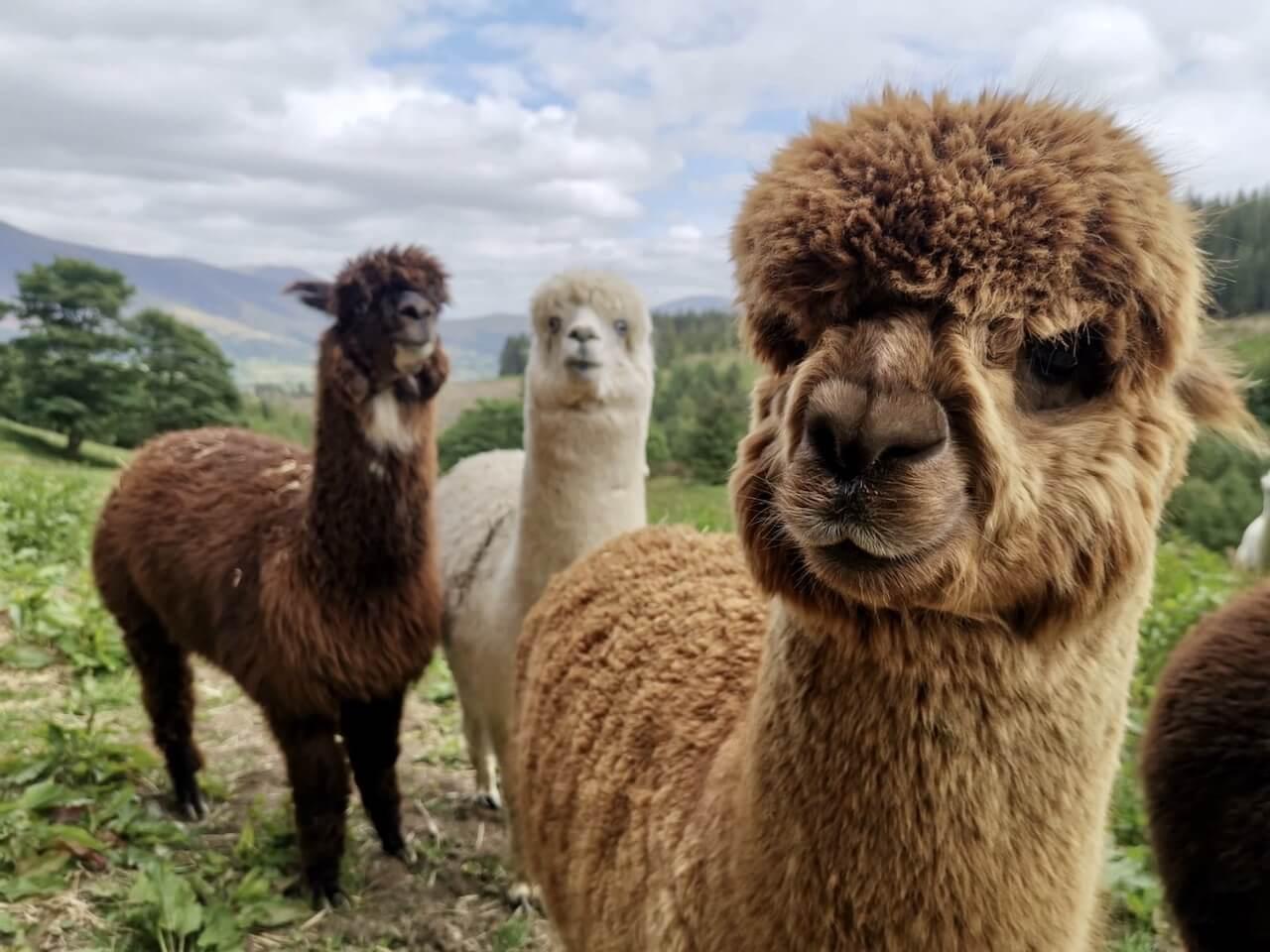 alpaca adventure in wales, uk.
