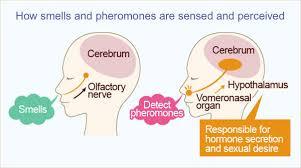 Pheromone là gì