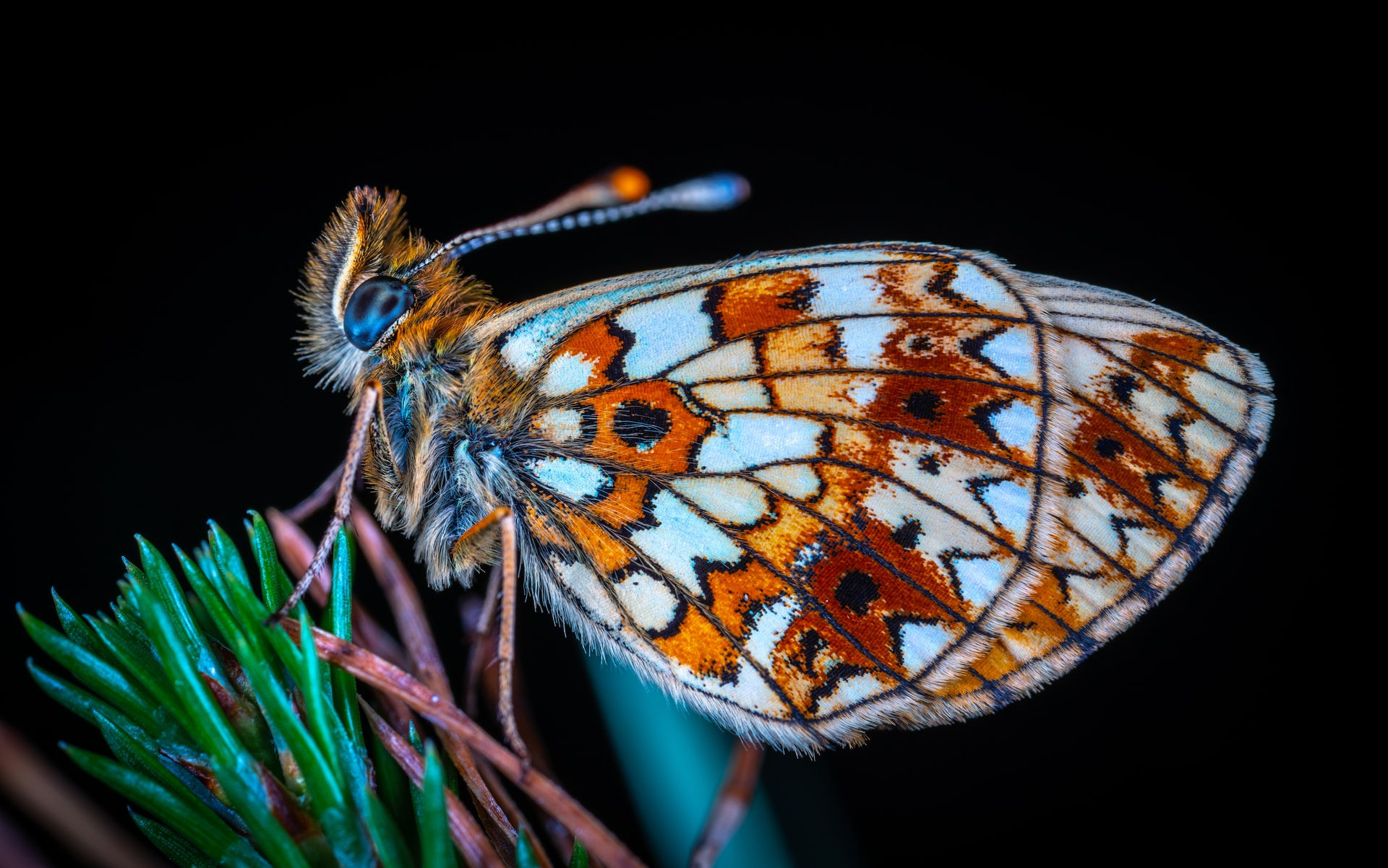 Transformational Butterfly