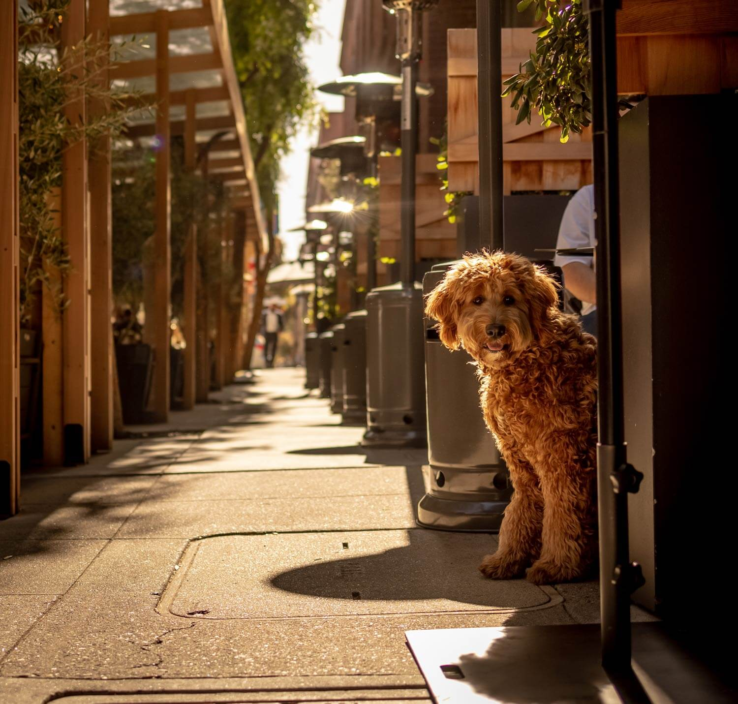 A dog sitting in the outdoor dining area of Cotogna