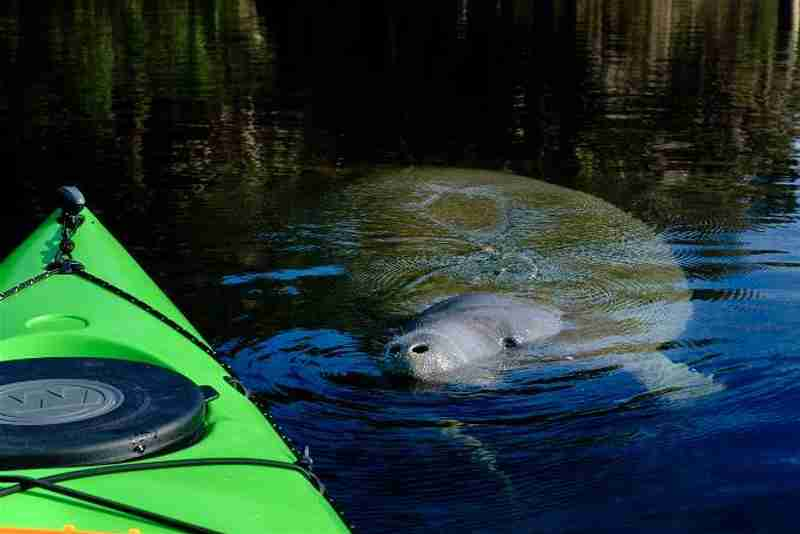 """A curious manatee coming up to the kayak to say """"hello""""."""