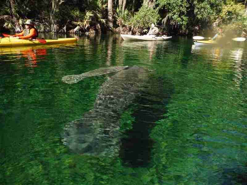 Manatees swimming in the clear spring water at Blue Spring State Park.
