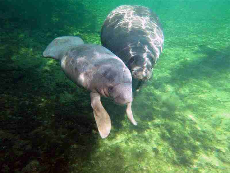 A couple of playful manatees.