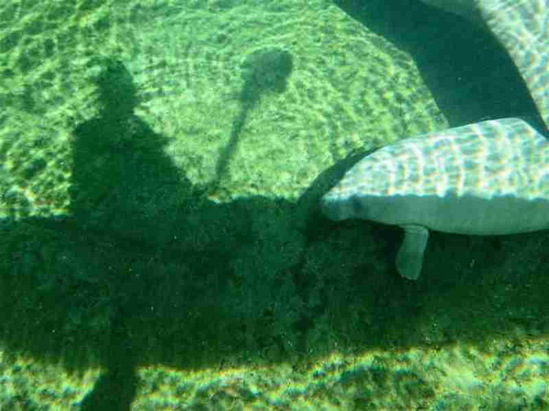 A paddler observing a manatee in the clear spring water.