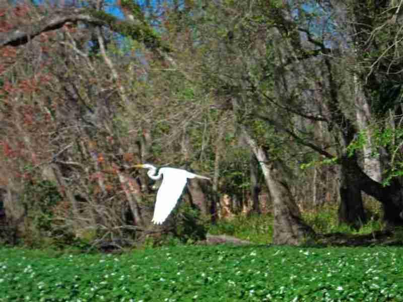 A great egret flying over the Floridian vegetation.
