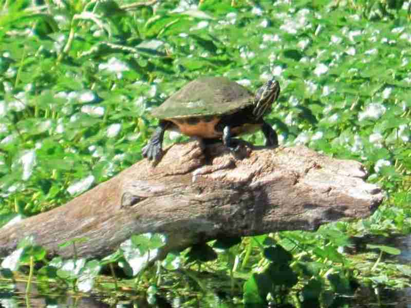 A turtle sunning itself on a log.