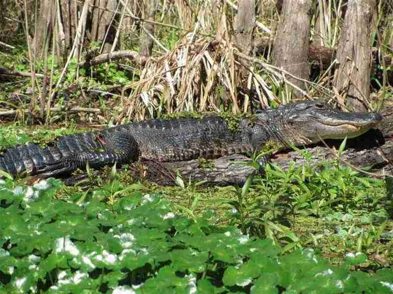 A young alligator sunning itself seen during one of our kayak trips.