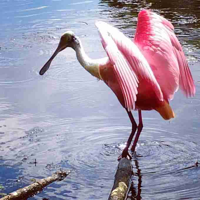 A roseate spoonbill hunting on the river.