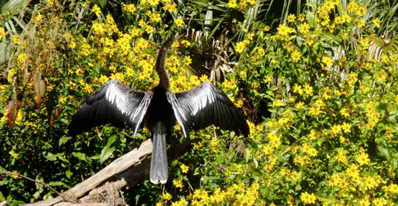 An anhinga drying off its wings after diving for fish.
