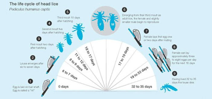 Head Lice Life Cycle