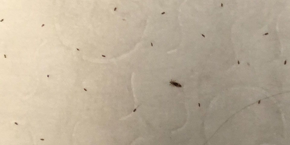 what do lice look like bugs eggs nits identify