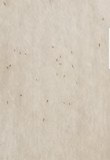 head lice eggs nits on paper towel brownish tannish