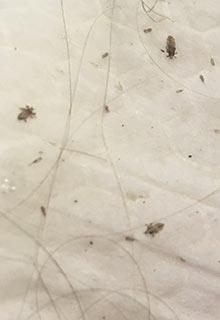 licedoctors home lice infestation covid19 coronavirus quarantine