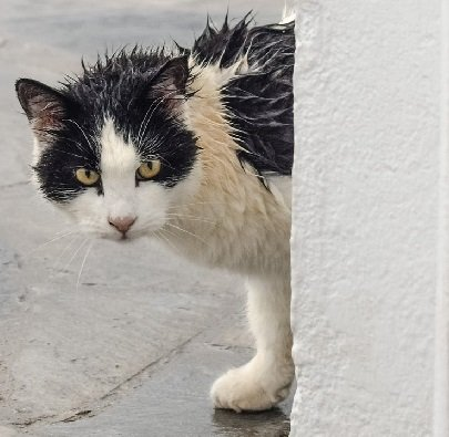 black and white cat with wet fur peeking around a wall