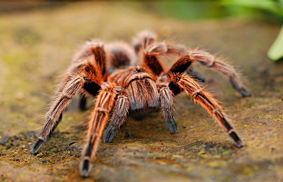 close image of hairy tarantula spider