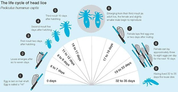 Life cycle of lice - from egg or nit to nymph to adult louse
