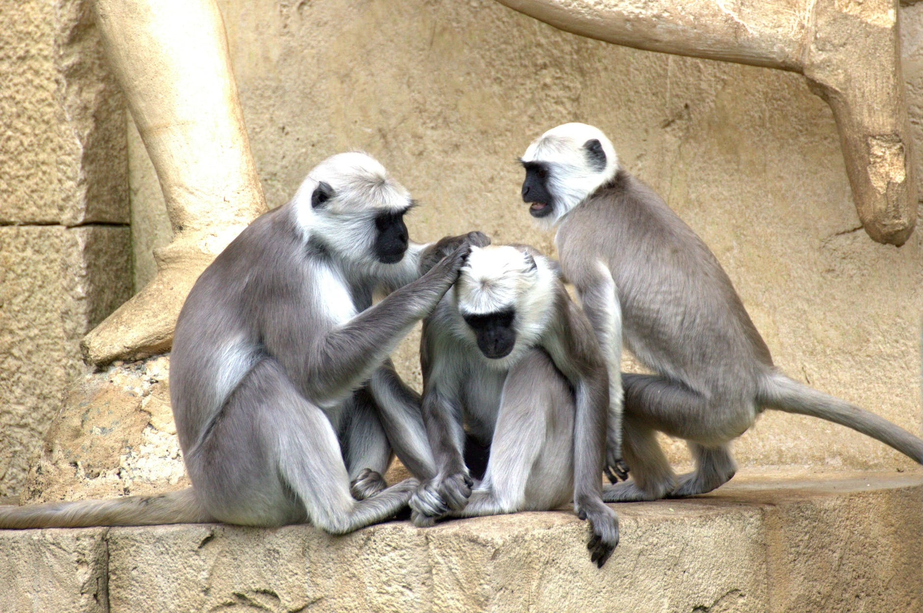 grey and white black faced monkeys picking lice from each other.