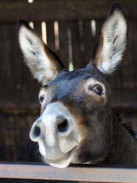 close image of long eared brown donkey face head.