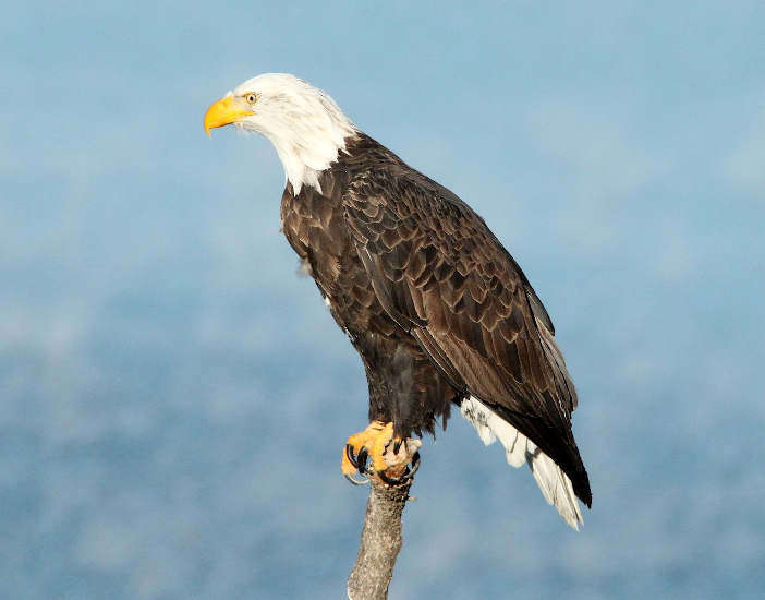 bald eagle perched on dead branch.