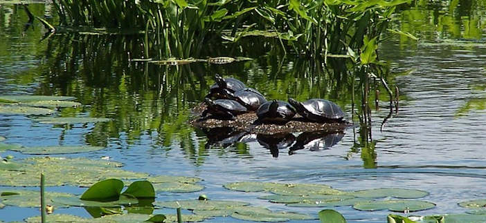 painted turtles huddled on stump in swamp.jpg
