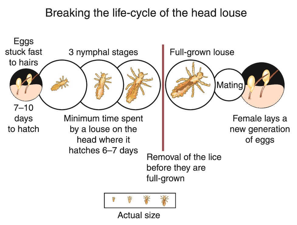 Life Span of Head Lice on Human