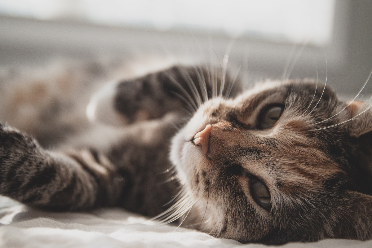 Can Cats Get Lice?