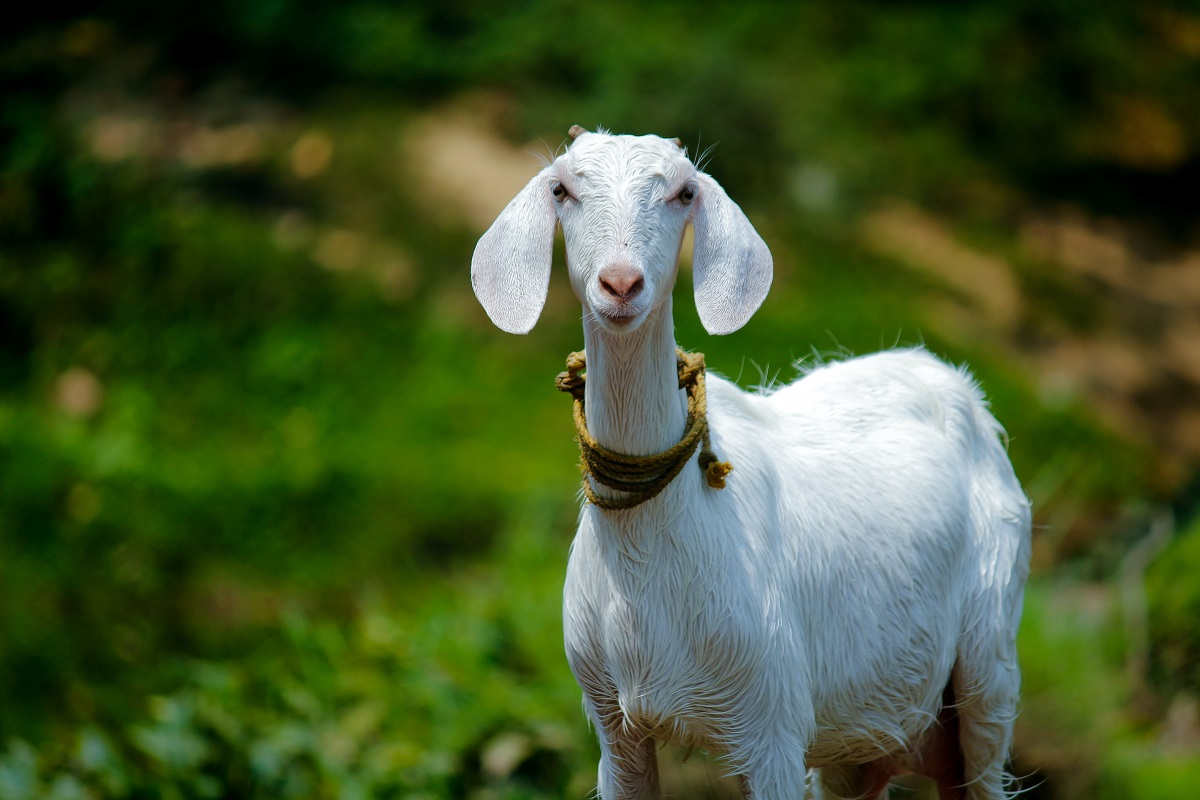 Can You Get Lice From Goats