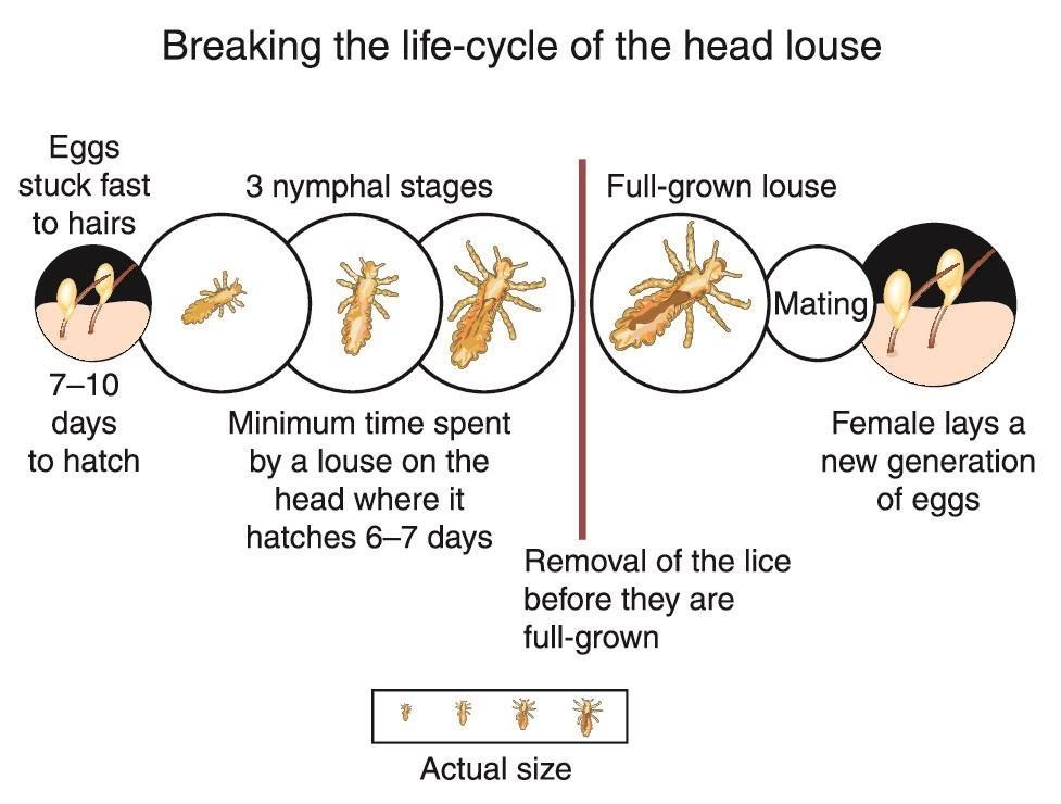 Lice Anatomy
