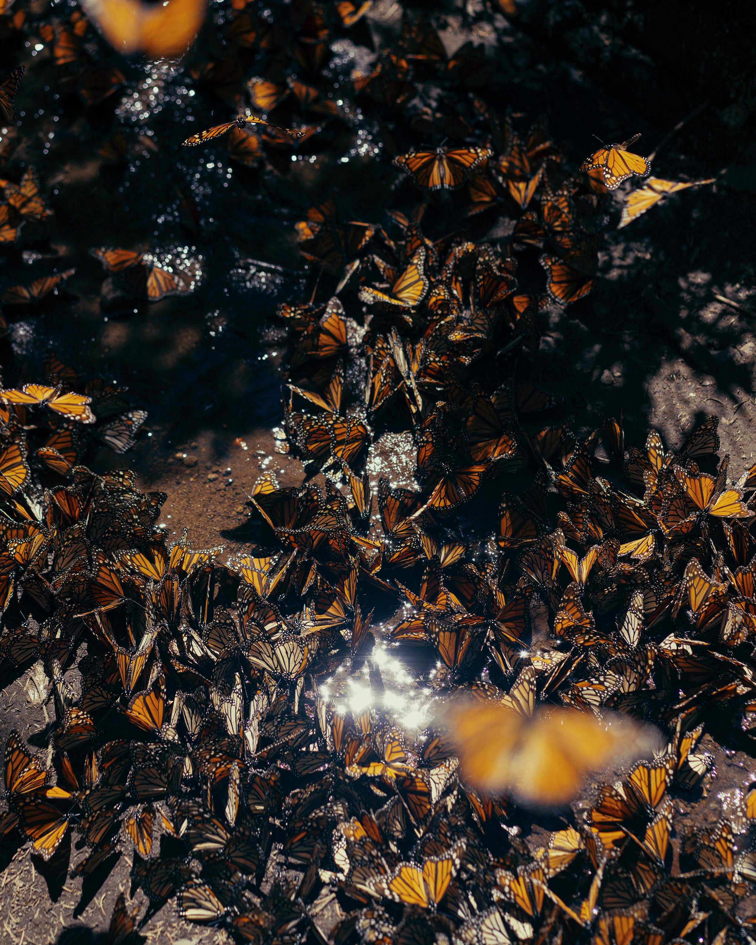A cluster of Monarch butterflies