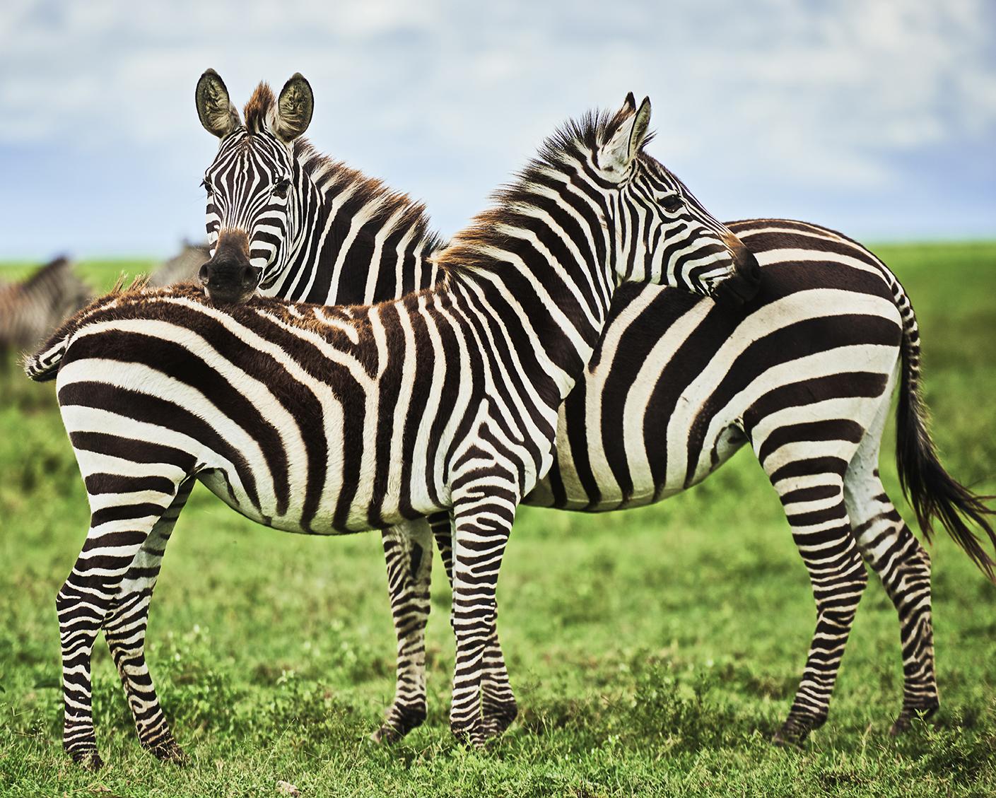 Unique Zebra
