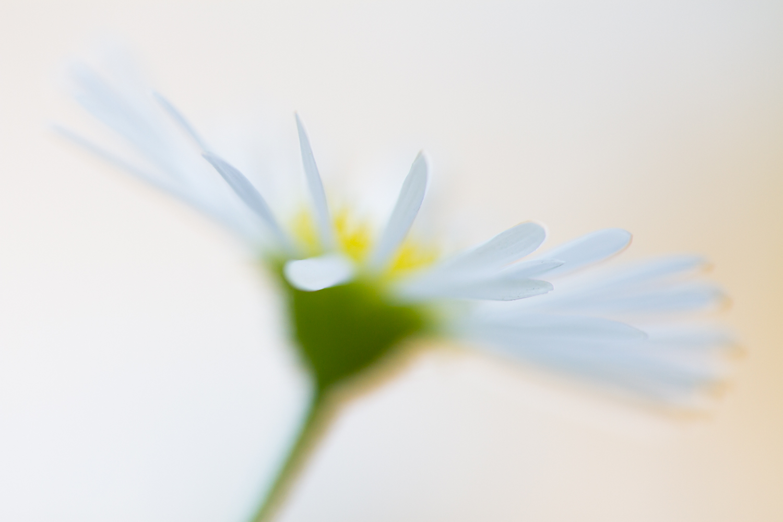 Extreme macro shot of a daisy