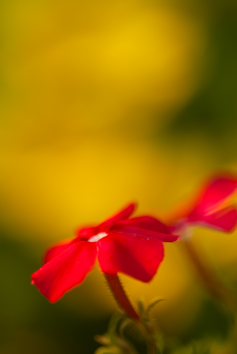 Macro of a red flower