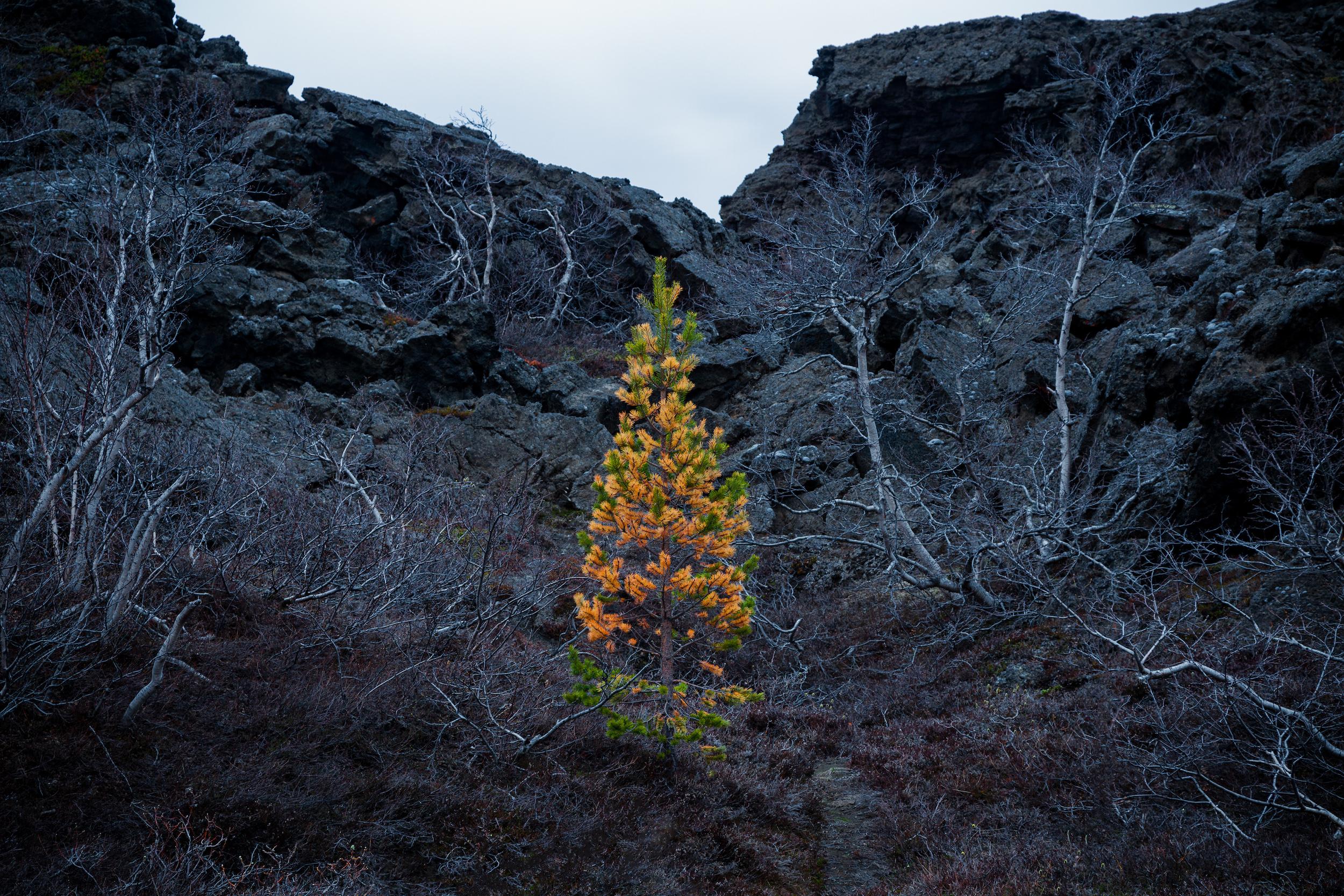A lone tree in lifeless volcanic scenery
