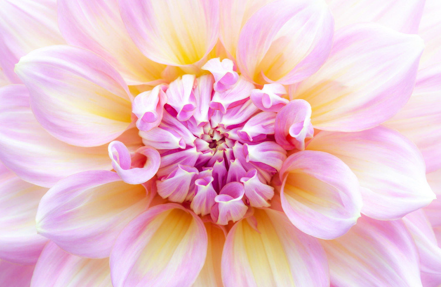 Macro shot of a pink and yellow flower