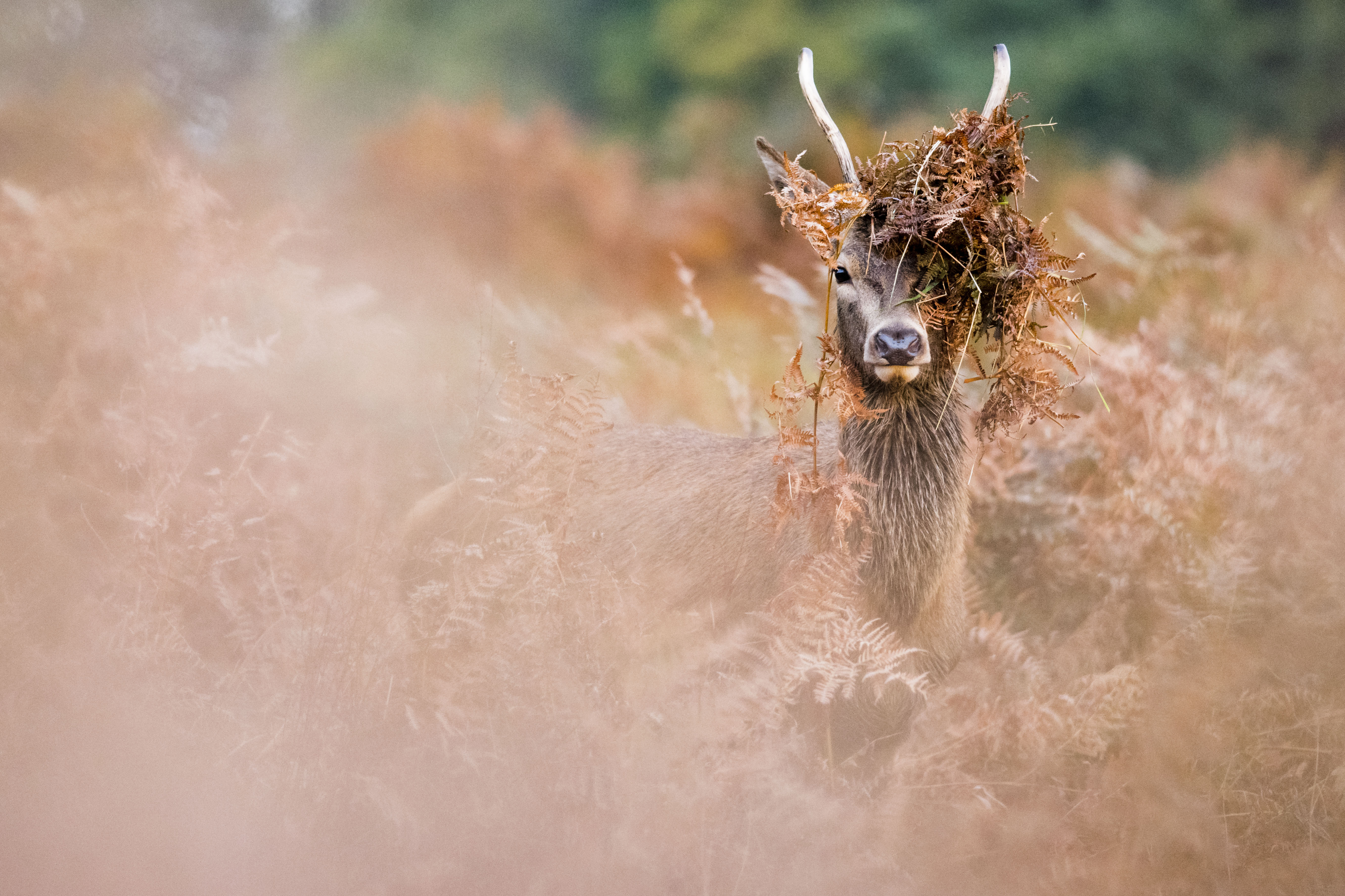 A stag in foliage