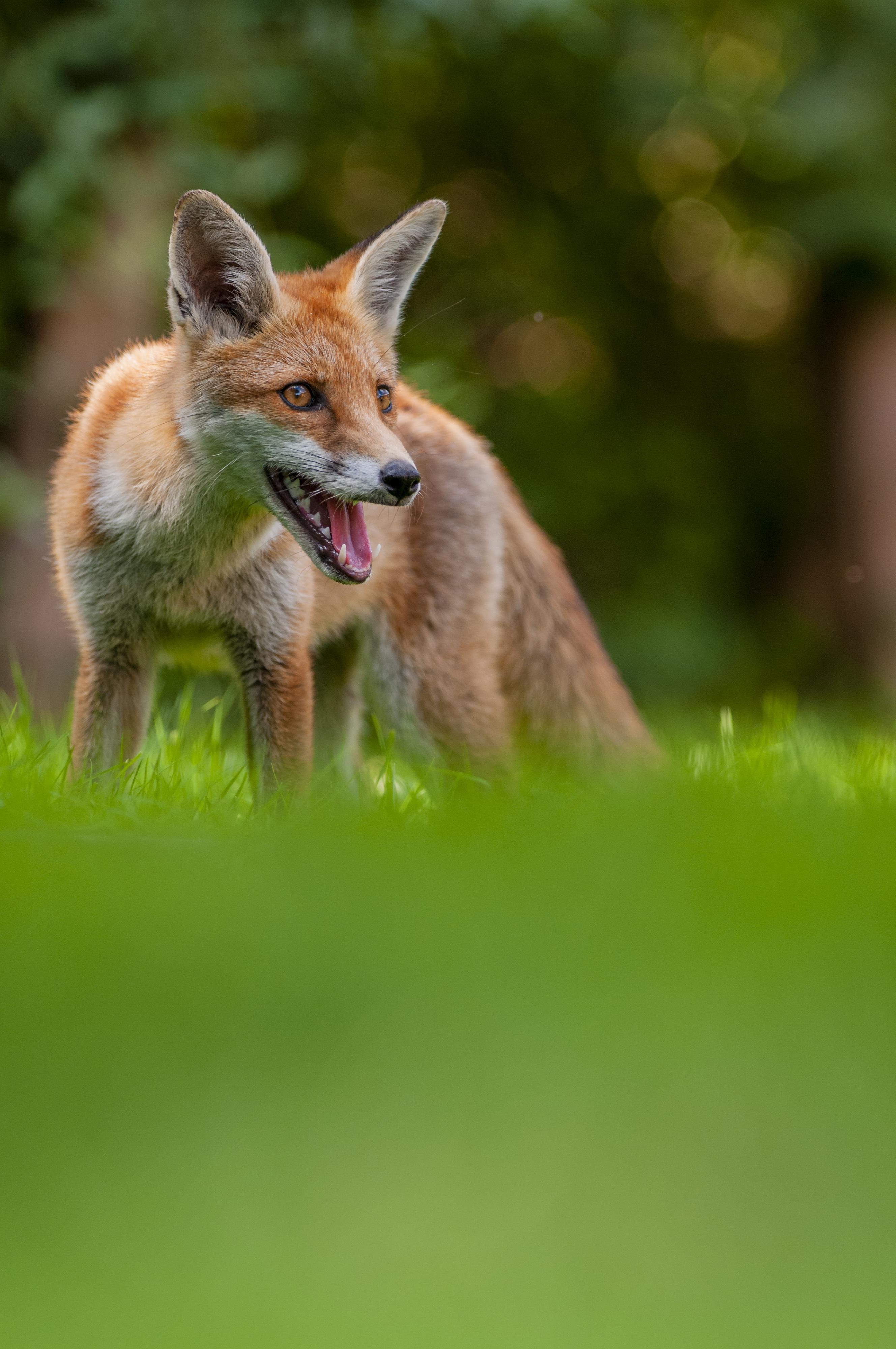 Fox on a lawn with a shallow depth of field