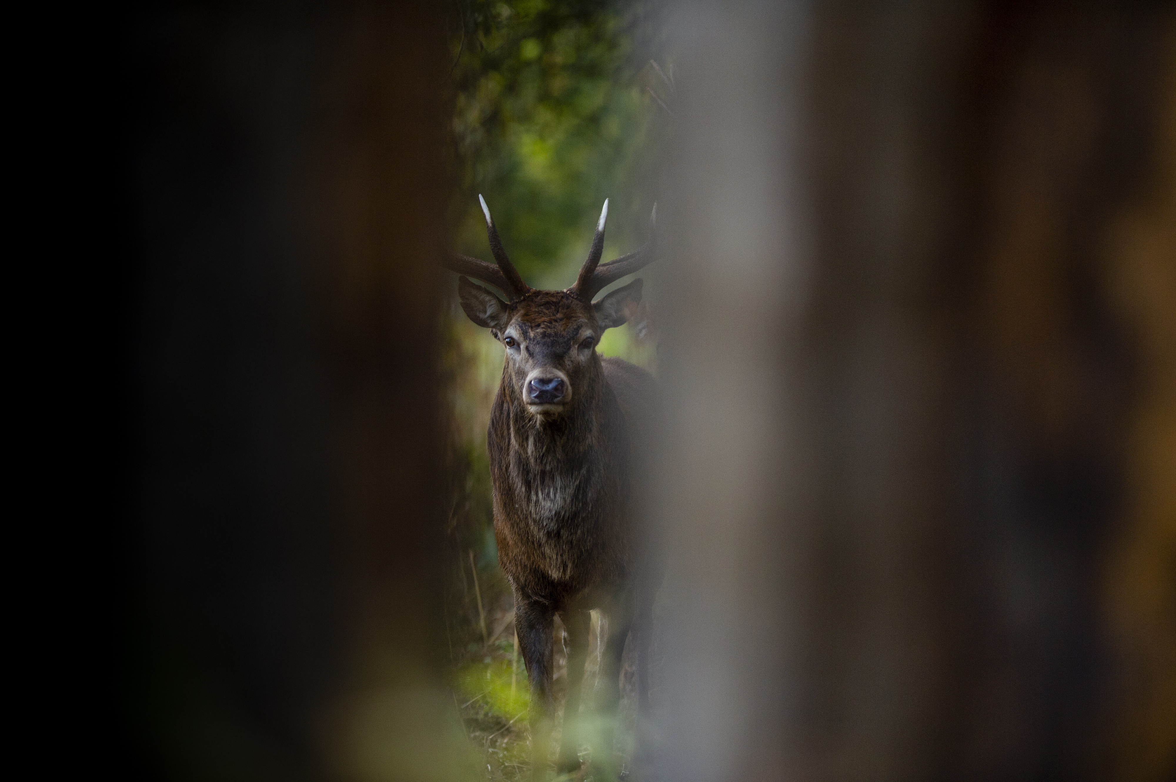Portrait of a deer photographed between a natural frame