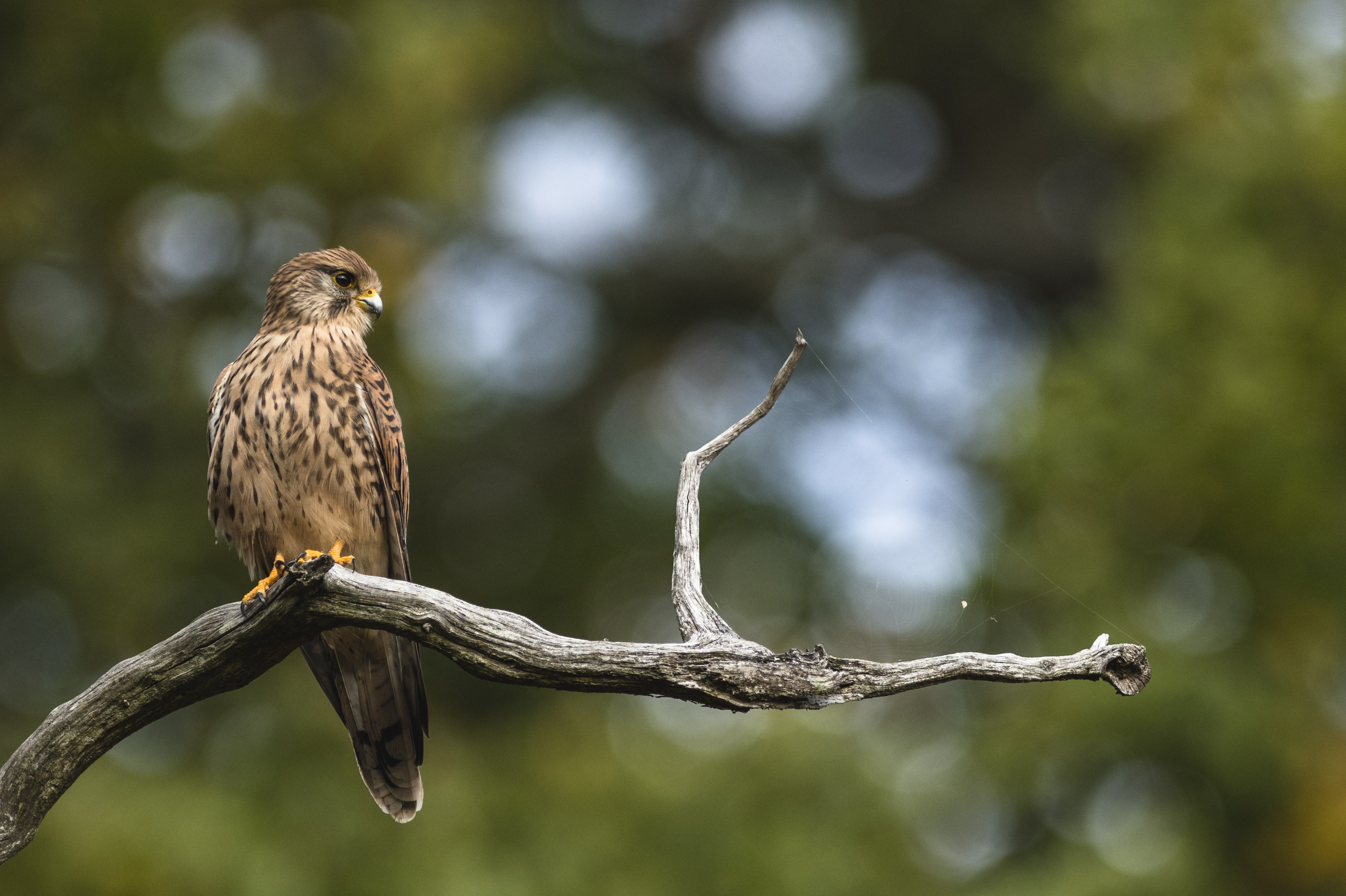 Falcon on a branch with a shallow depth of field