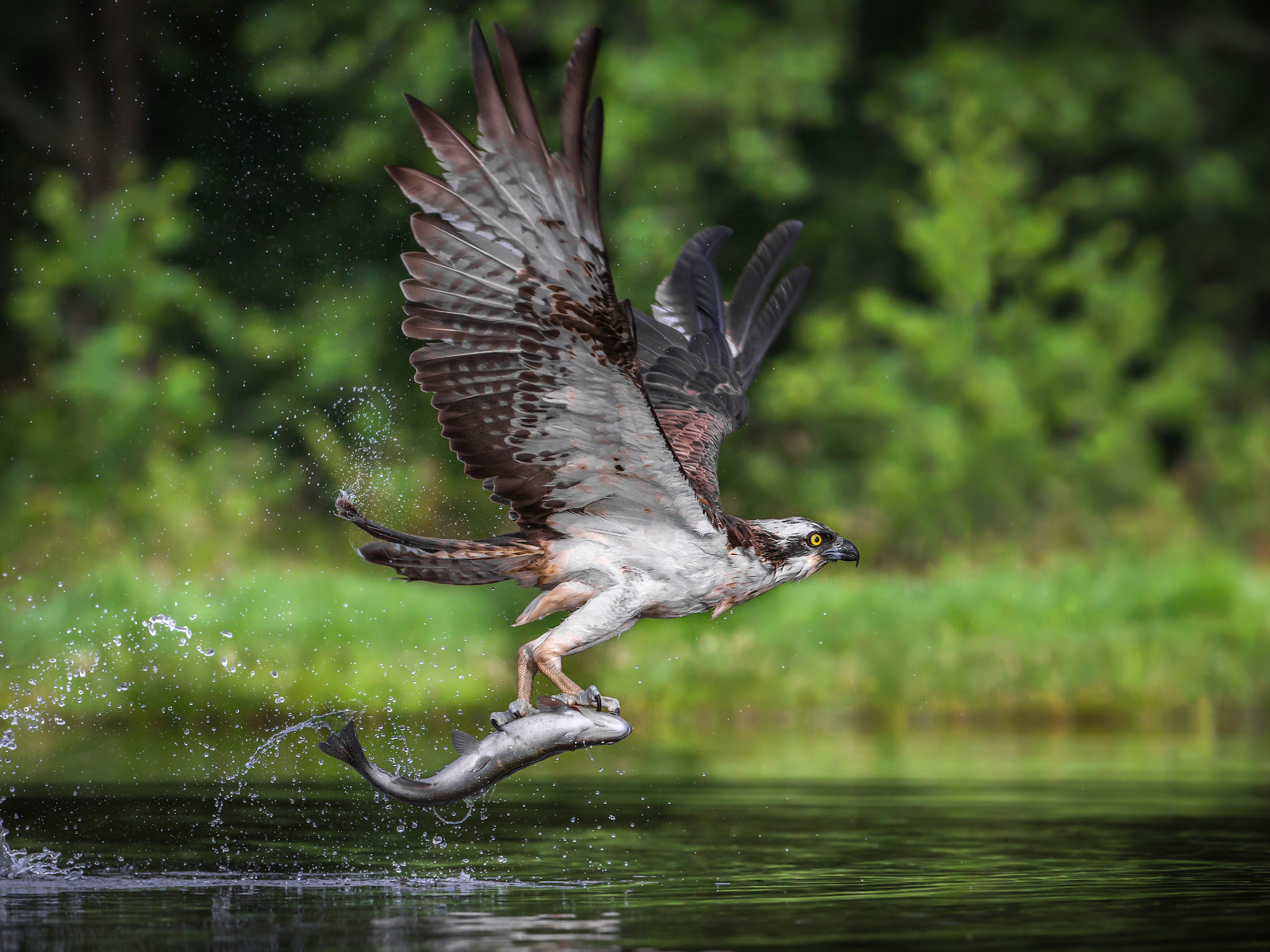 Flying osprey with a fish in its claws