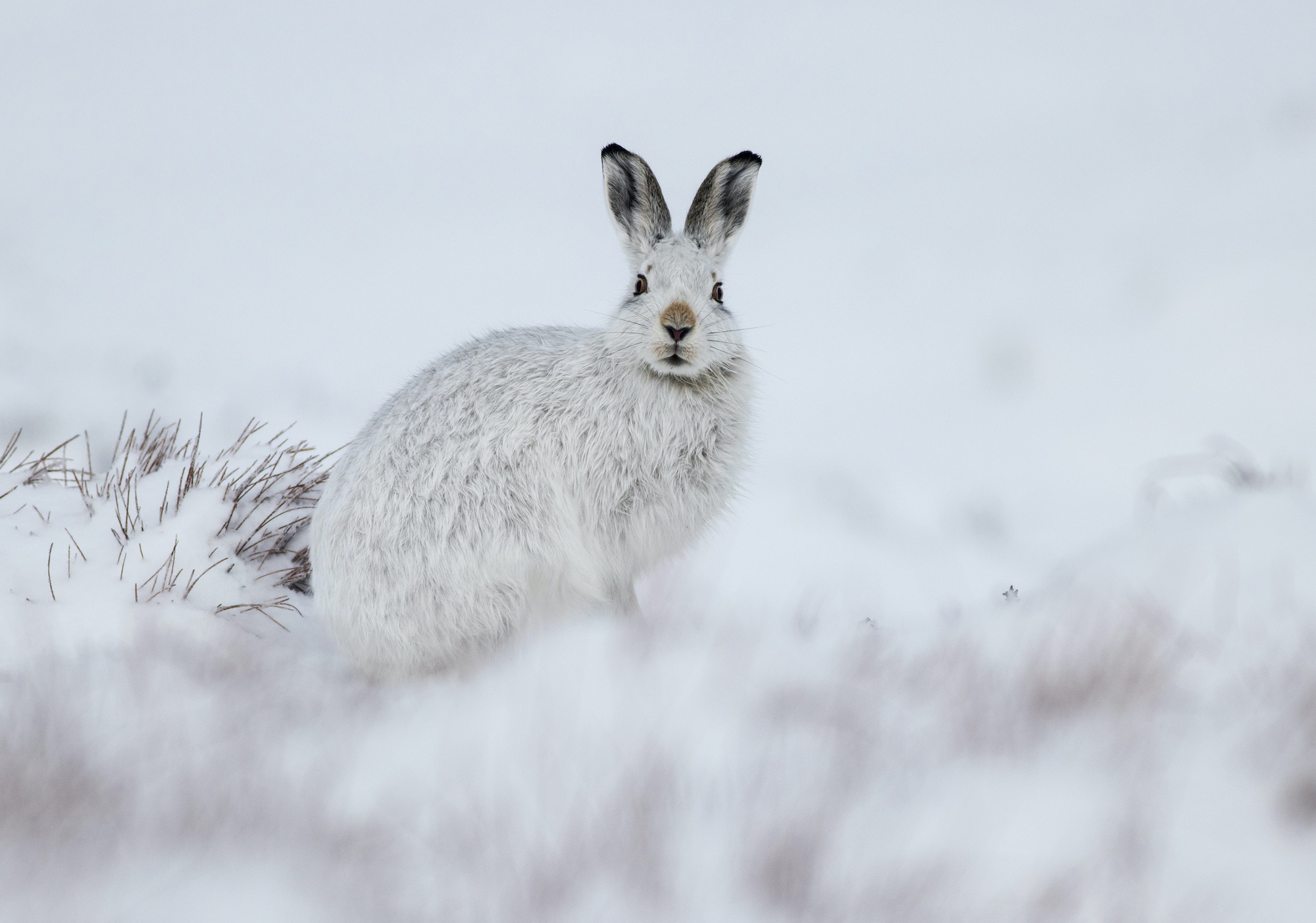 A mountain hare against a white snowy background, Scotland
