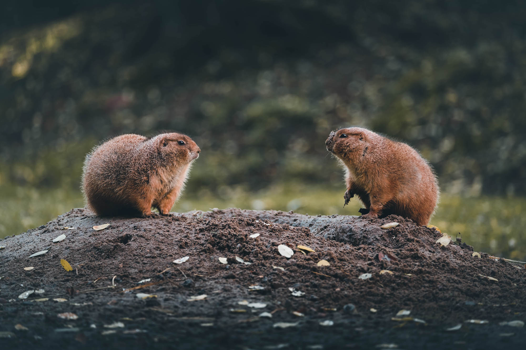 Two marmots looking at each other on a rock