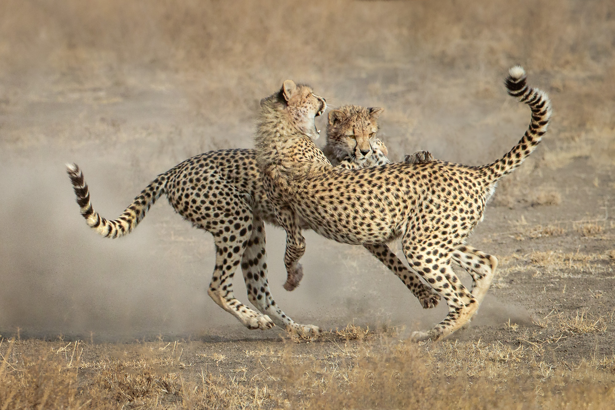 Two cheetahs fighting