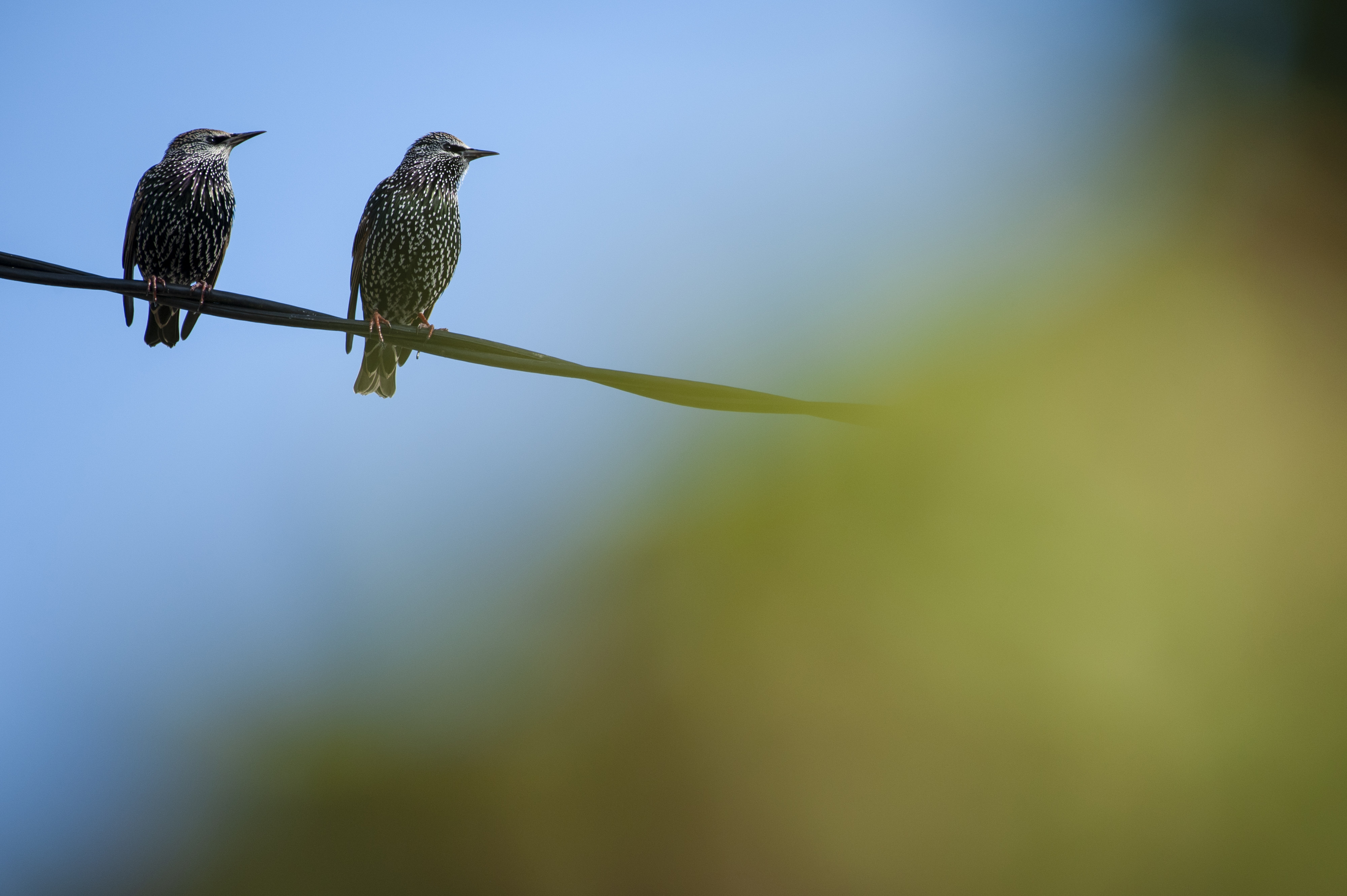 Two birds on a telephone cable