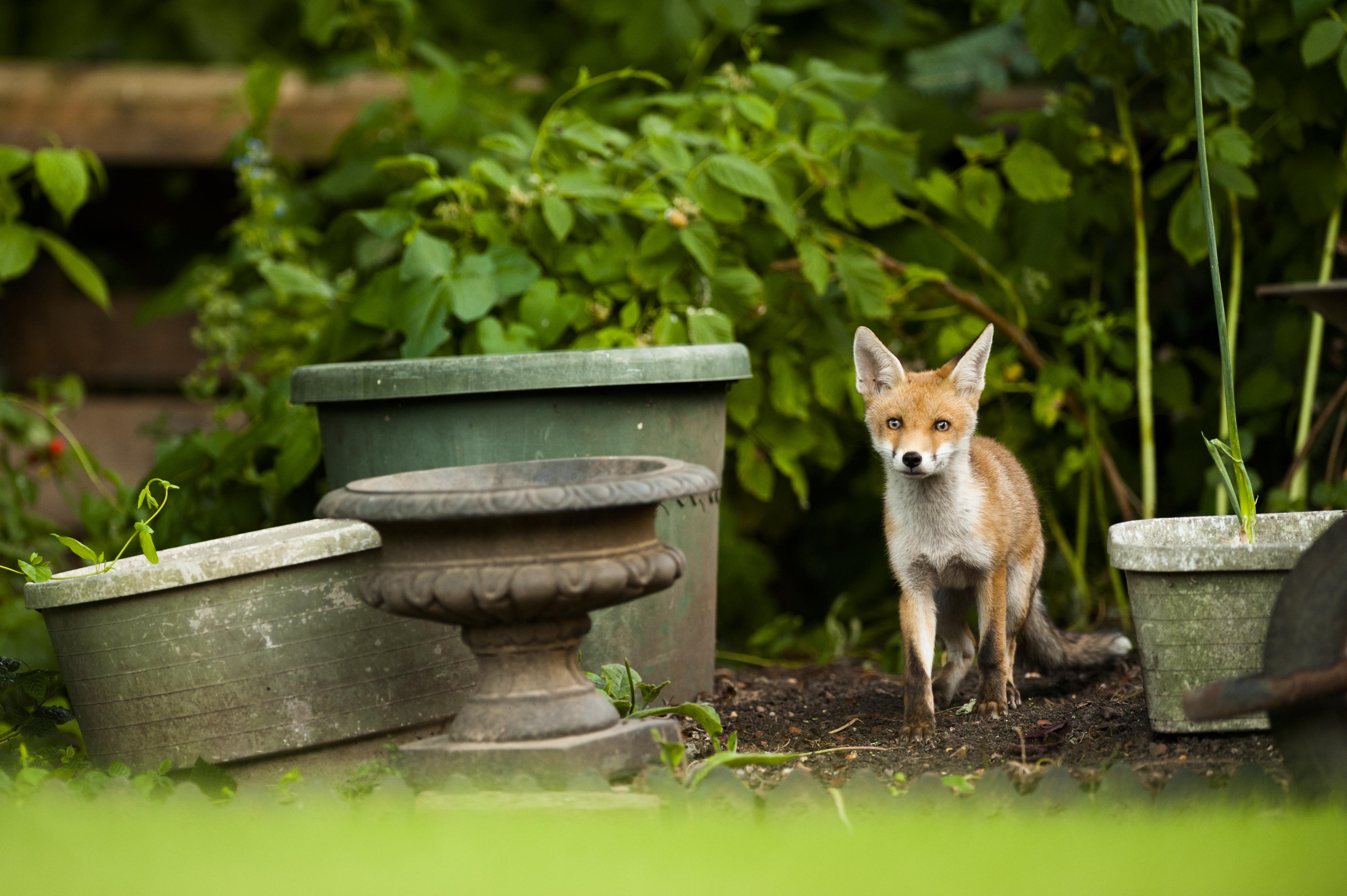 An urban fox in a suburban garden