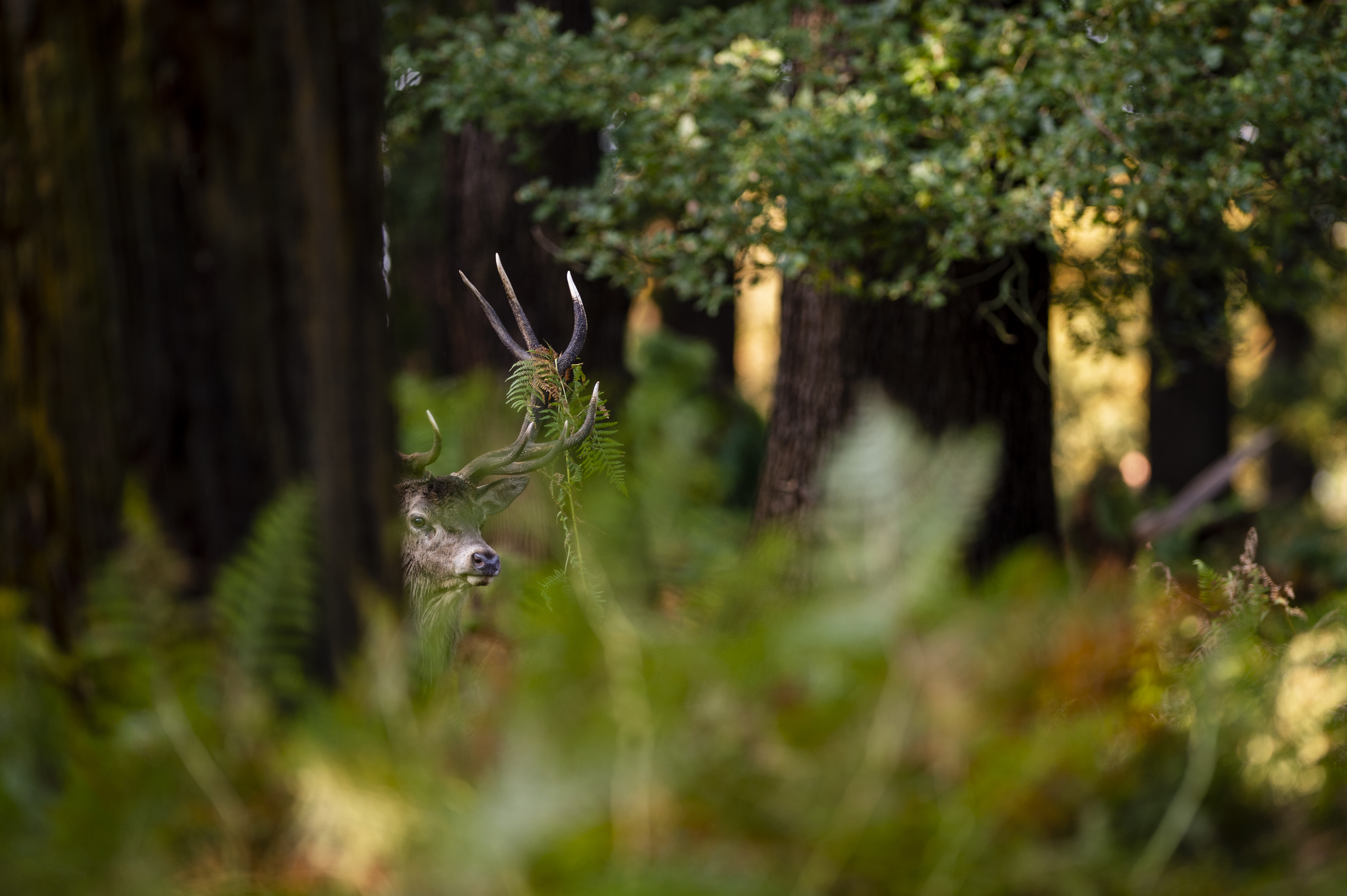Deer in the foliage in Richmond Park, London