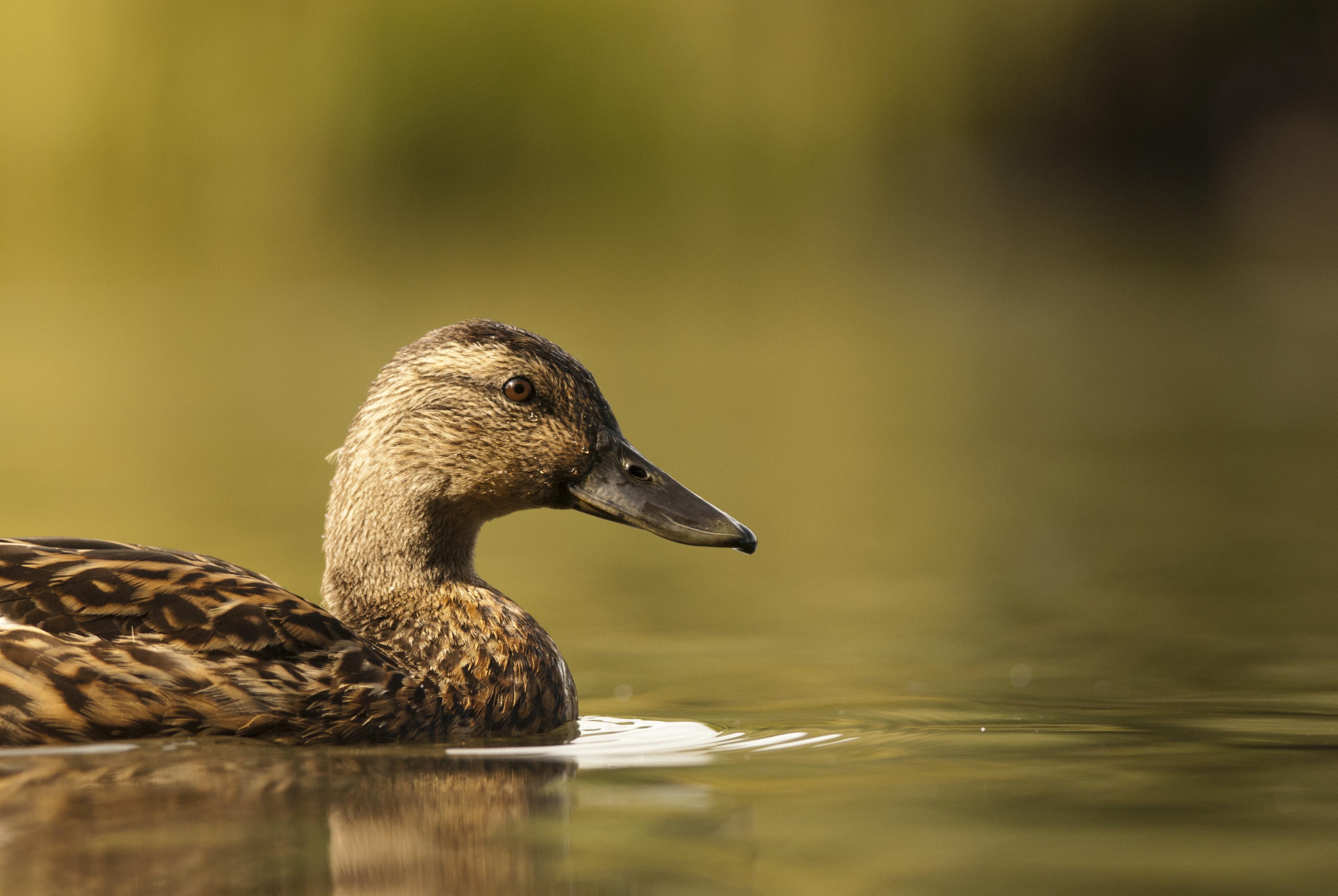 Duck in an urban park