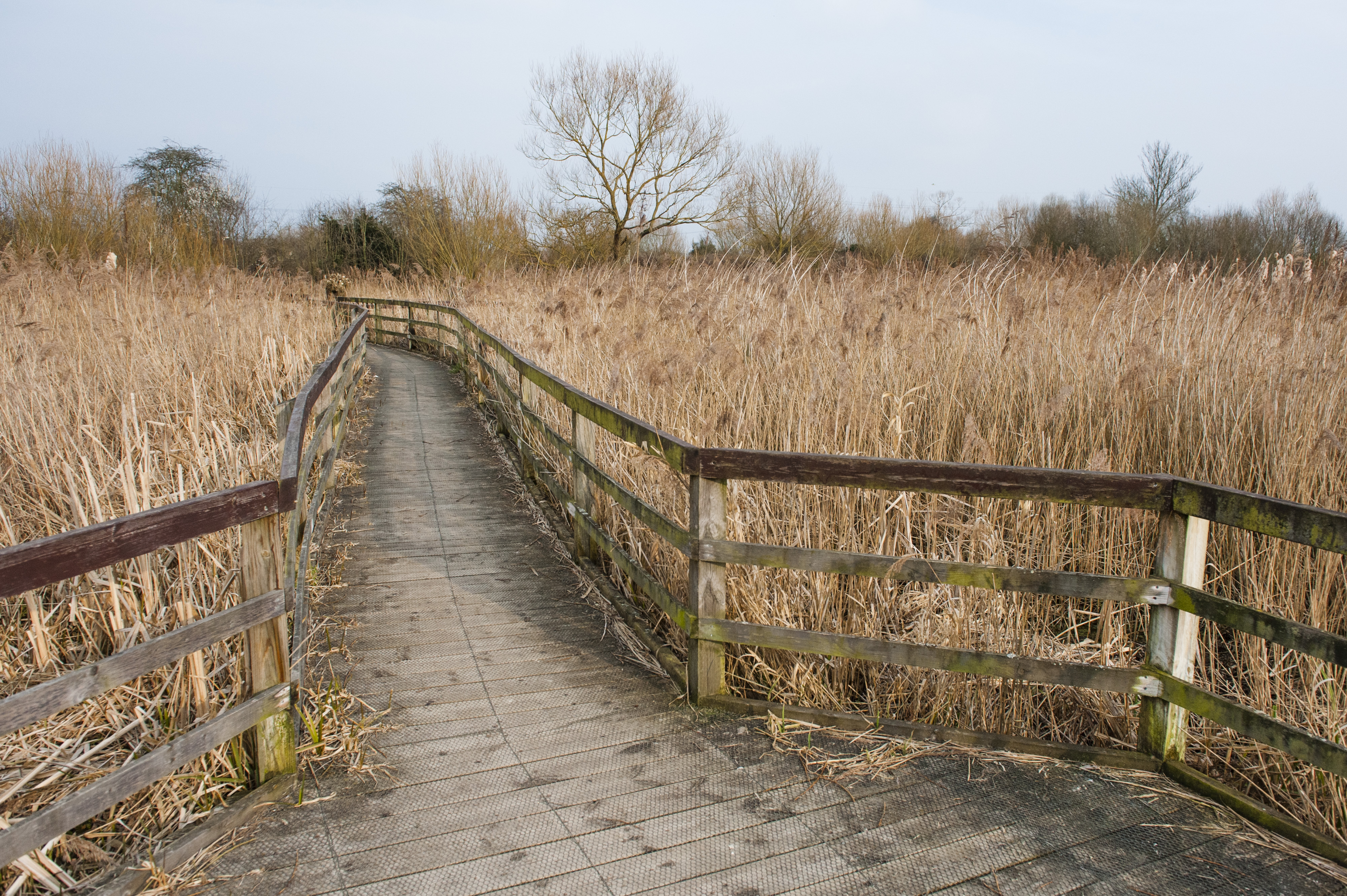 Wooden walkway through reeds in a nature reserve