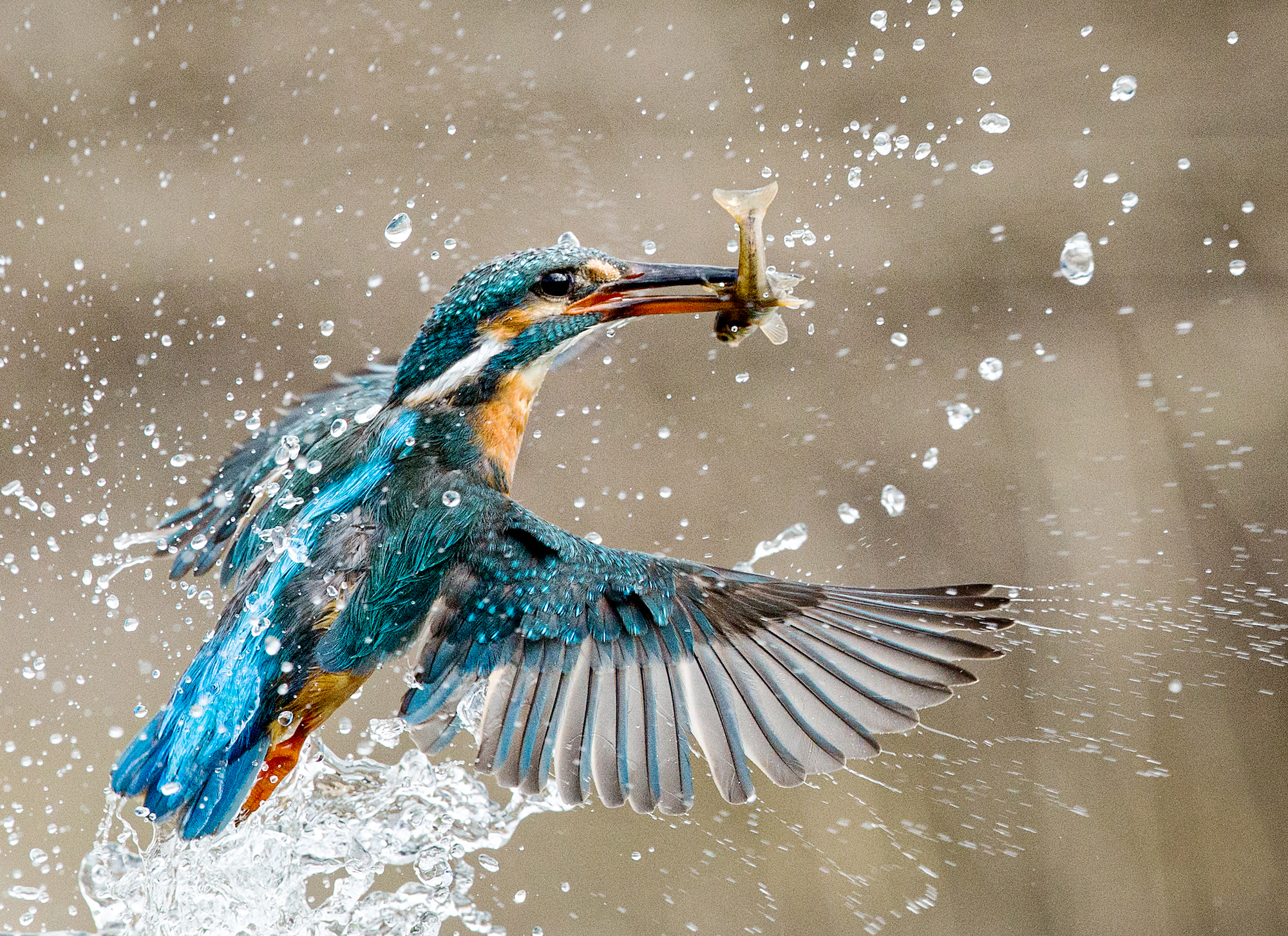 Image of a Kingfisher taken with a shutter speed of 1/3200s